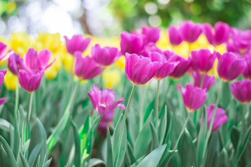 Pink tulips bloom in the garden stock image