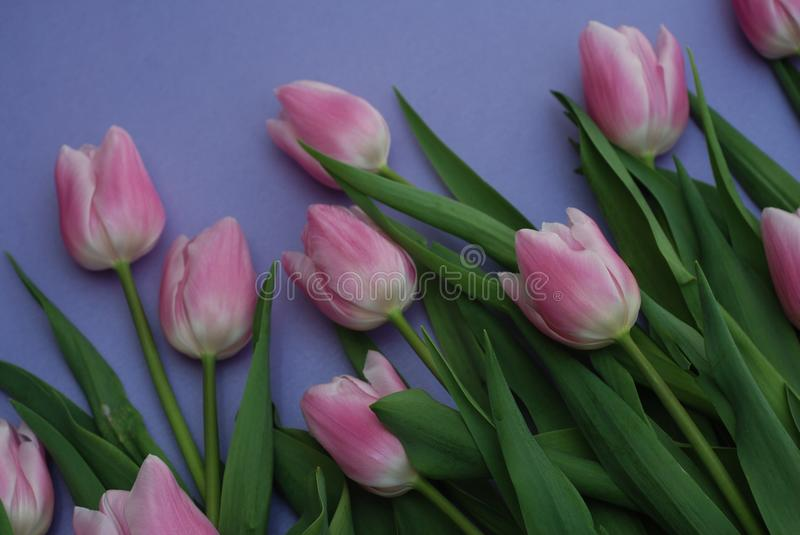 Download Pink Tulips Bouquet, Over Purple Background With Copy Space. Top View. Flat Lay. Spring Time. Stock Photo - Image of event, flower: 111619028