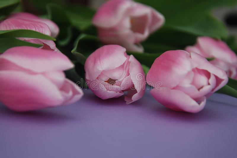 Download Pink Tulips Bouquet, Over Purple Background With Copy Space. Top View. Flat Lay. Spring Time. Stock Image - Image of april, colorful: 111619051