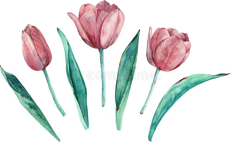 Pink tulips clipart. Hand-drawn watercolor separate elements isolated on white background vector illustration