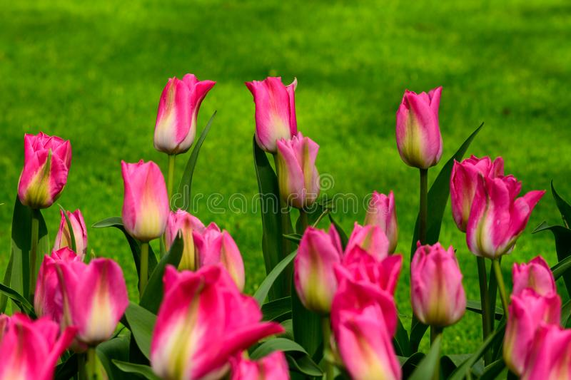 Pink tulips close up in Holland , spring time flowers in Keukenhof stock image