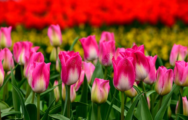 Pink tulips close up in Holland , spring time flowers in Keukenhof stock photo