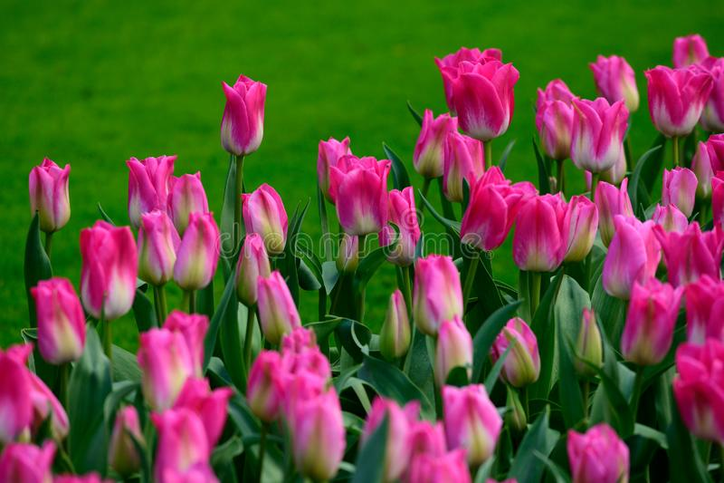 Pink tulips close up in Holland , spring time flowers in Keukenhof royalty free stock photos