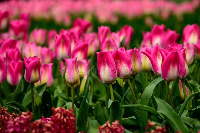 Pink tulips close up in Holland , spring time flowers in Keukenhof stock images