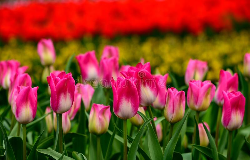 Pink tulips close up in Holland , spring time flowers in Keukenhof royalty free stock photography