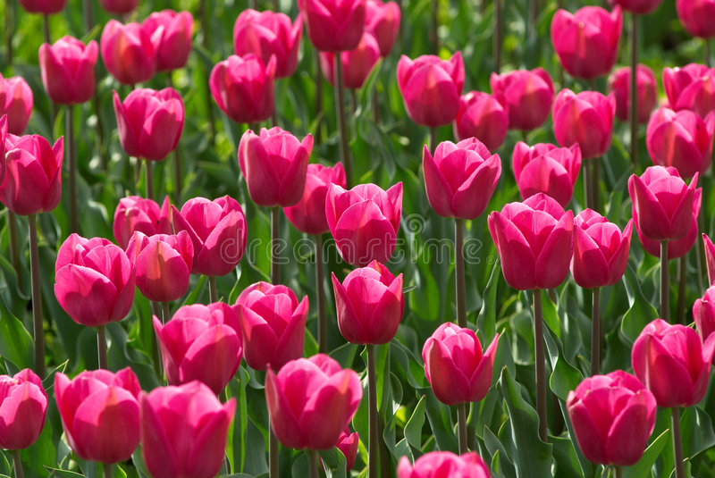 Download Pink Tulips Field Royalty Free Stock Photos - Image: 2312038