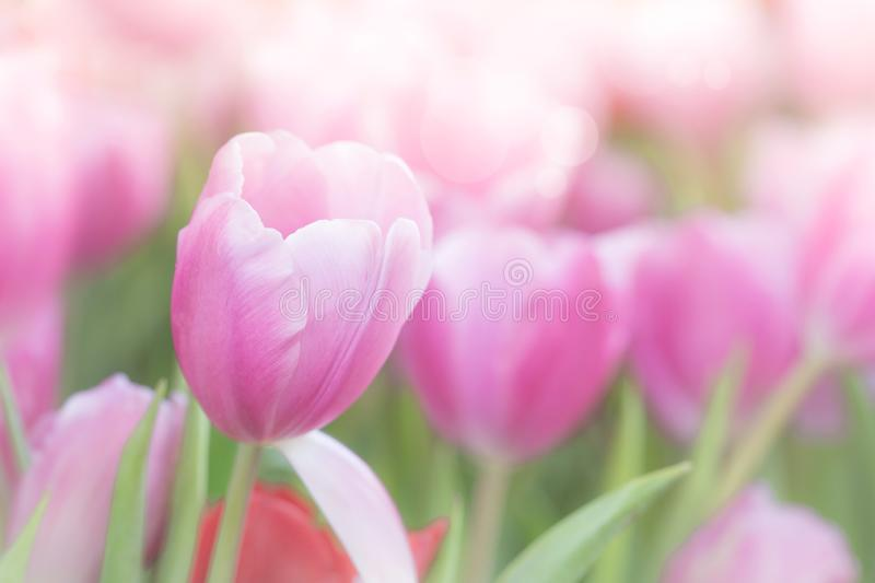 Pink tulips in a field. These flowers were shot in Holland the Netherlands royalty free stock photography