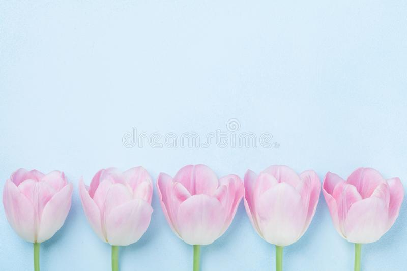 Pink tulips flower on blue background top view. Fashion pastel colors. Flat lay style. Spring woman day card. Pink tulips flower on blue background top view stock photos