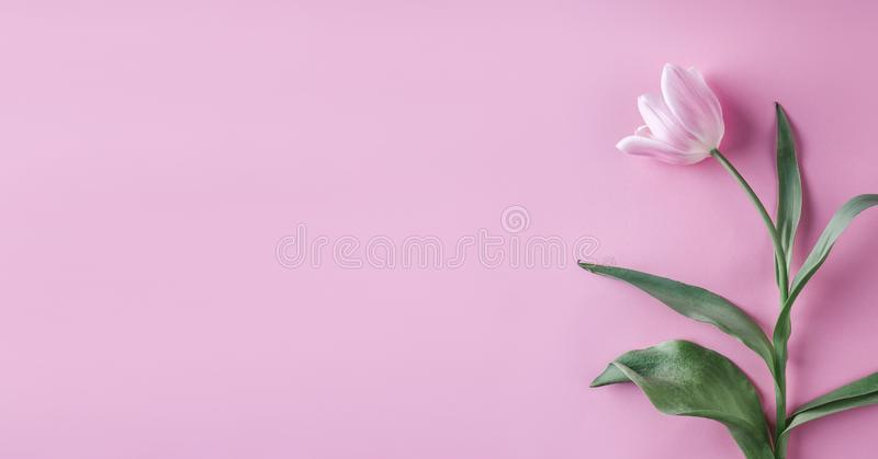 Pink tulips flowers on pink background. Waiting for spring. Happy Easter card. Flat lay, top view. stock photography