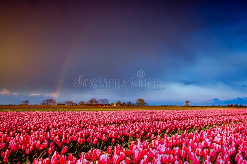 Pink tulips flowers landscape with rainbow  in Holland , spring time flowers in Keukenhof stock photo
