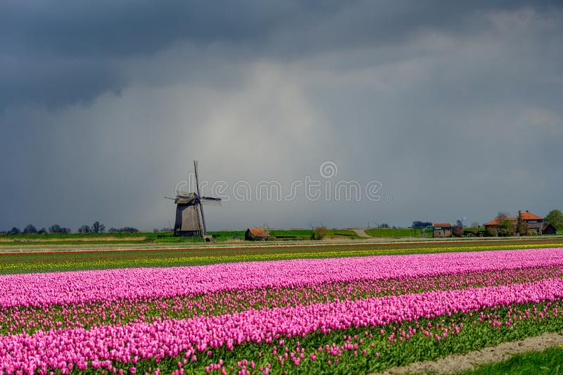 Pink tulips flowers landscape up in Holland , spring time flowers in Keukenhof royalty free stock photo