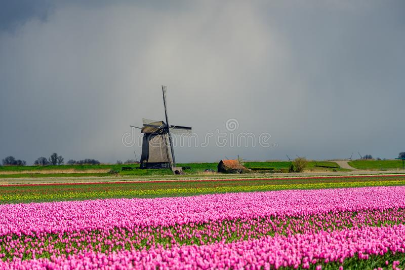 Pink tulips flowers landscape up in Holland , spring time flowers in Keukenhof stock images