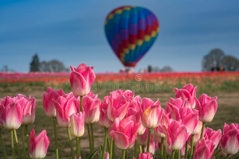 Pink tulips with hot air balloon in distance. This is a photograph of the pink tulips with a hot air balloon in distance stock photo