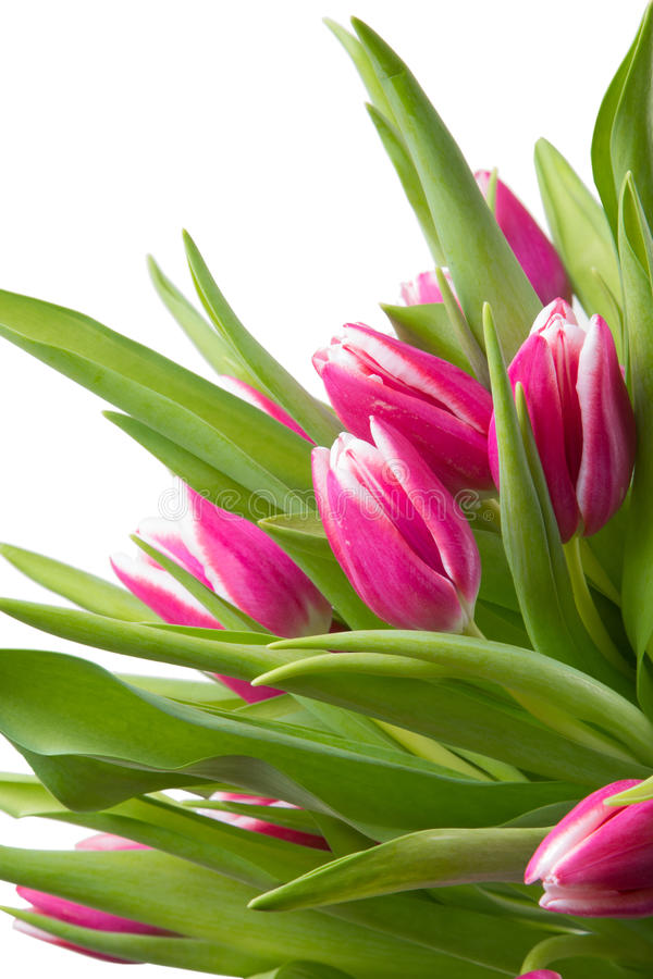 Pink Tulips On Isolated White Stock Images