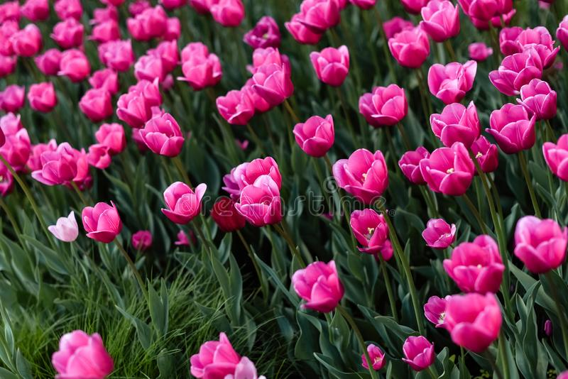 Pink tulips - photo with lots of flowers stock photos