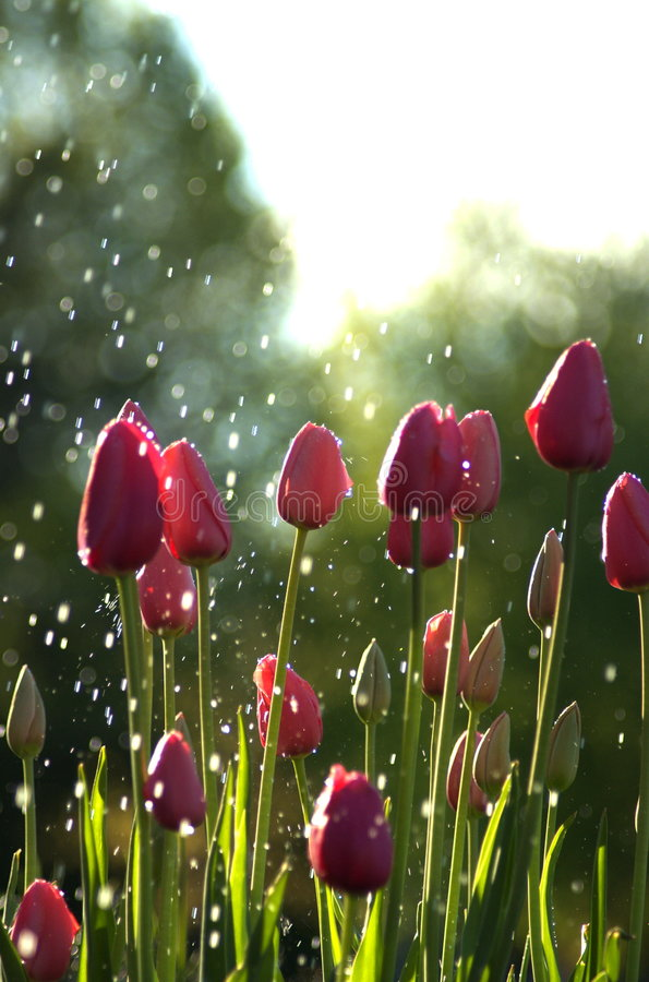 Pink tulips in rain. Pink tulips caught in a sun shower stock photo