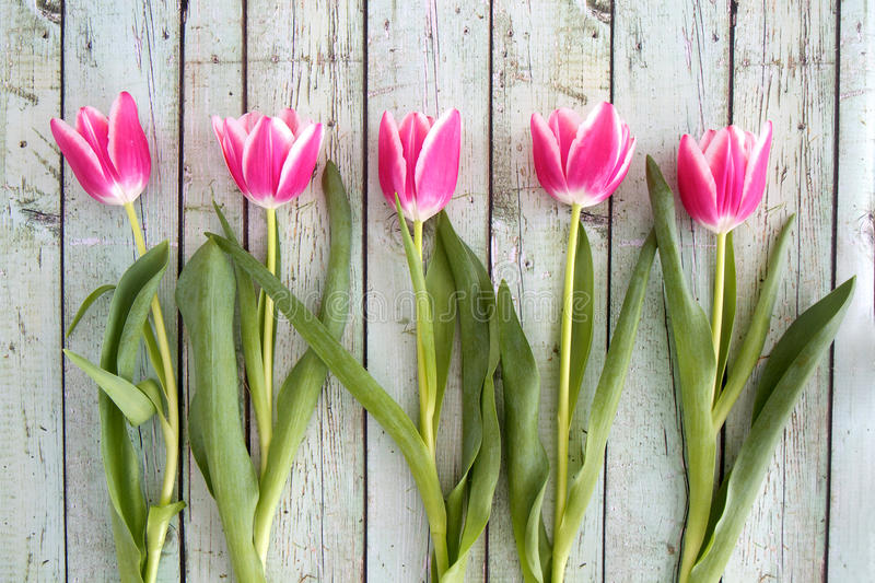 Pink tulips in a row royalty free stock photos