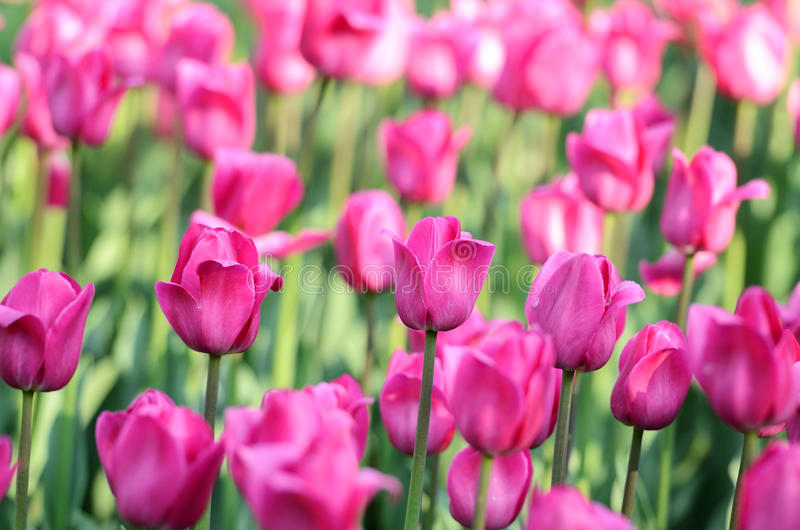 Download Pink tulips. Shallow dof stock photo. Image of shallow - 19656446