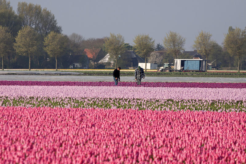 Pink tulips in the spring. VENHUIZEN, THE NETHERLANDS - APRIL 22 , 2014 : People work on a colorful tulip field on april 22,2014 in Venhuizen stock images