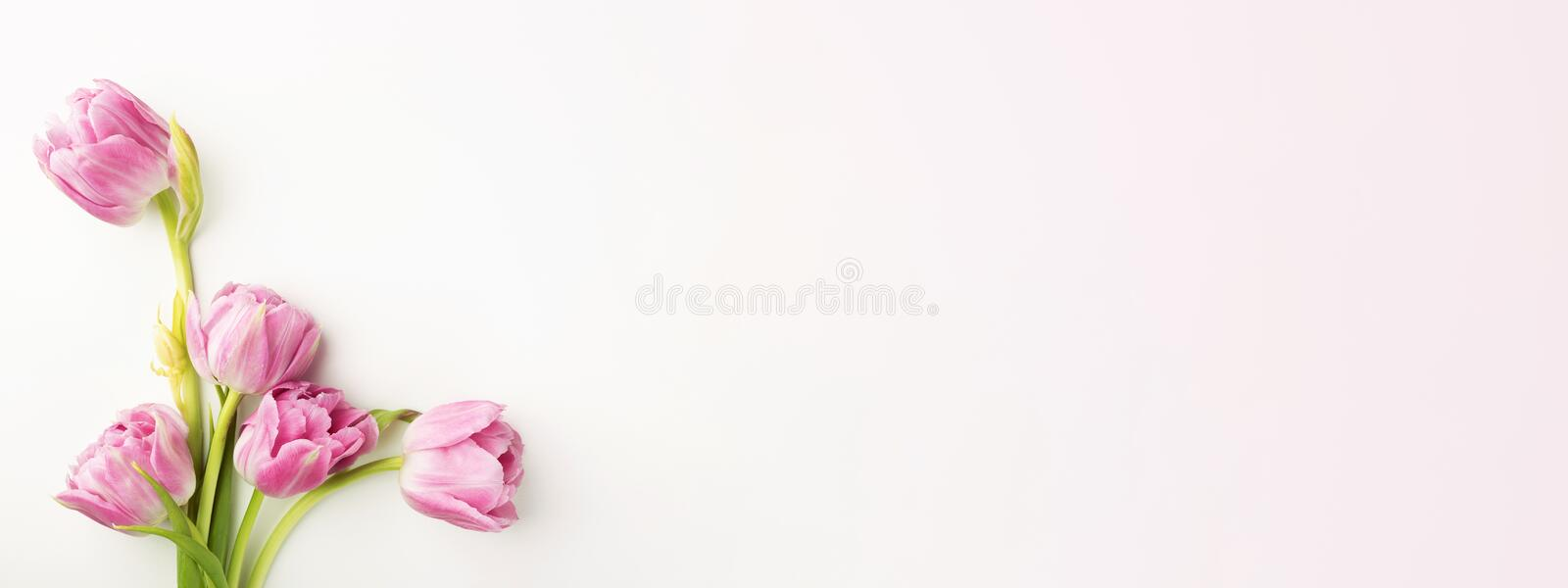Pink tulips on white background. royalty free stock images