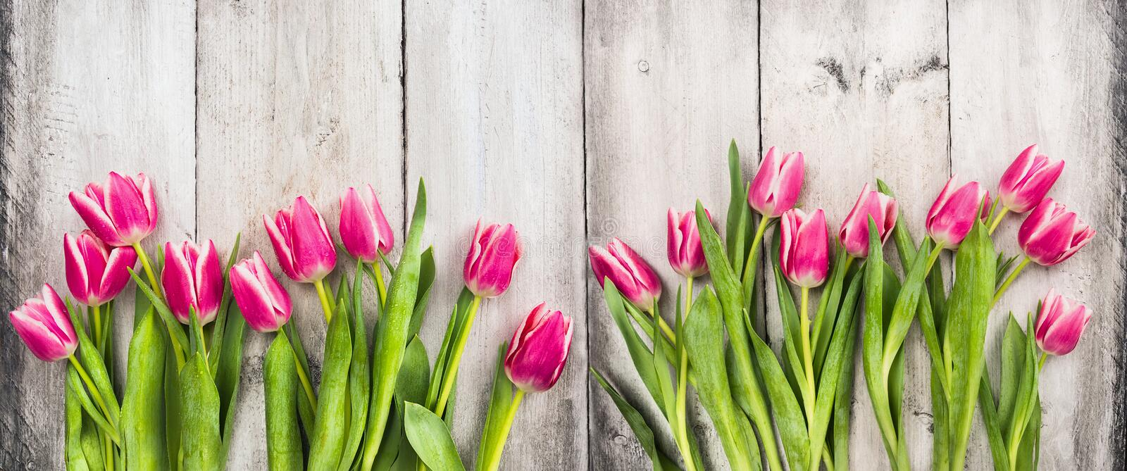 Pink tulips on white wooden background, banner royalty free stock image