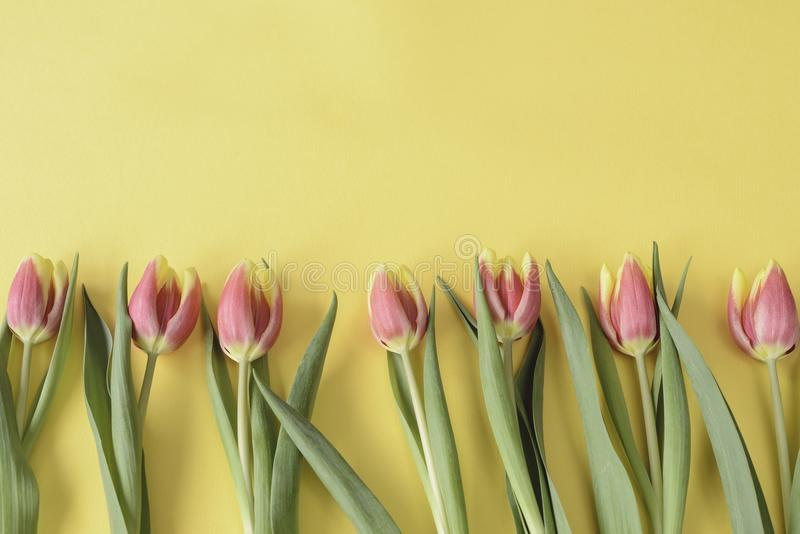 Pink tulips on yellow background. Copy space. Spring concept. royalty free stock image