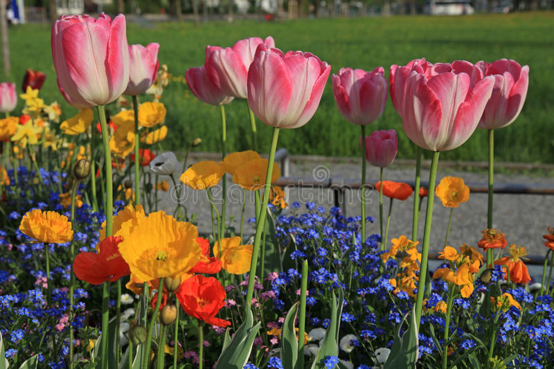 Pink tulips and yellow poppies with multicolored garden flowers. Selective focus,horizontal image royalty free stock photos