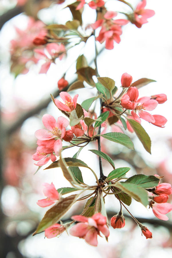 Pink twig of sakura with green petals royalty free stock photography