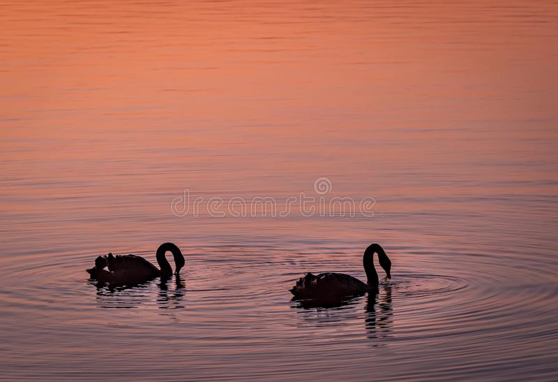 Twin swan in a lake in pink dusk royalty free stock photo