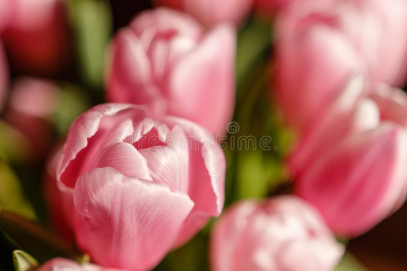Tulips from holland - Valentine tulips stock images