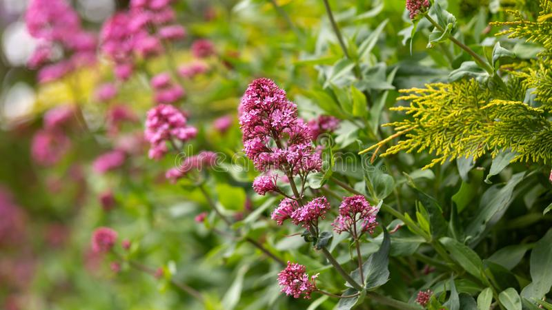 Pink valerian flowers Centranthus ruber in spring english cottage garden.  royalty free stock photo