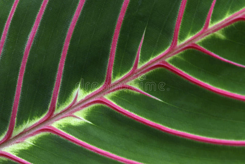 Download Pink Veins stock photo. Image of greenery, leaves, close - 13976306