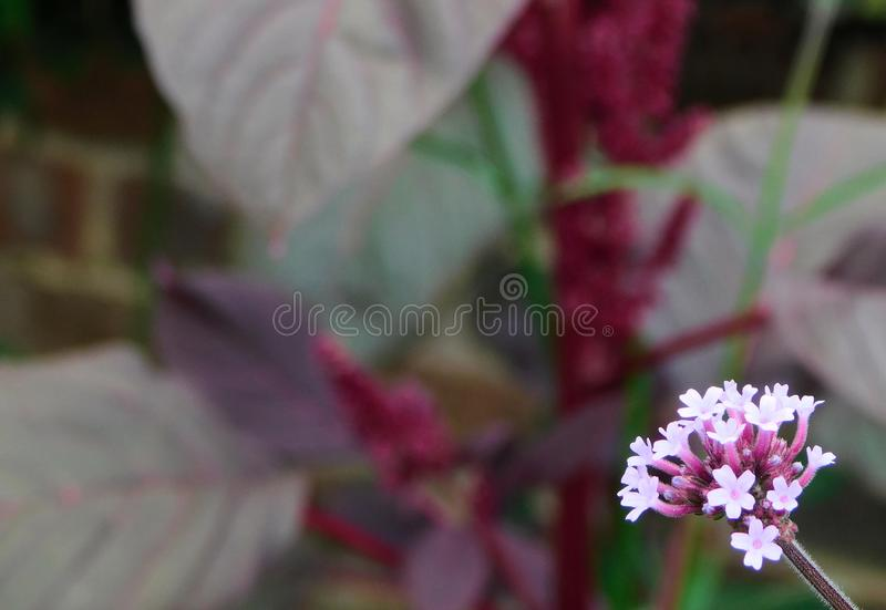 Pink Verbena Flower stock photos