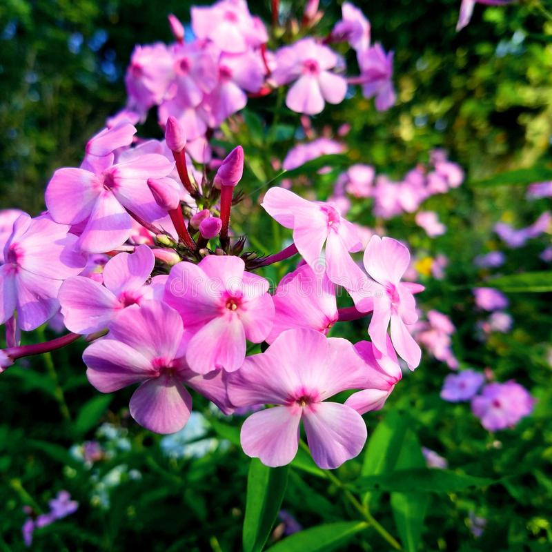 Pink vermont flowers royalty free stock photos