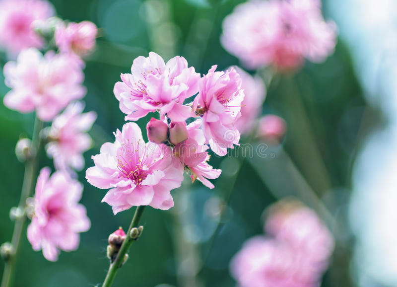 Pink vibrant sakura blossom flowers royalty free stock photography