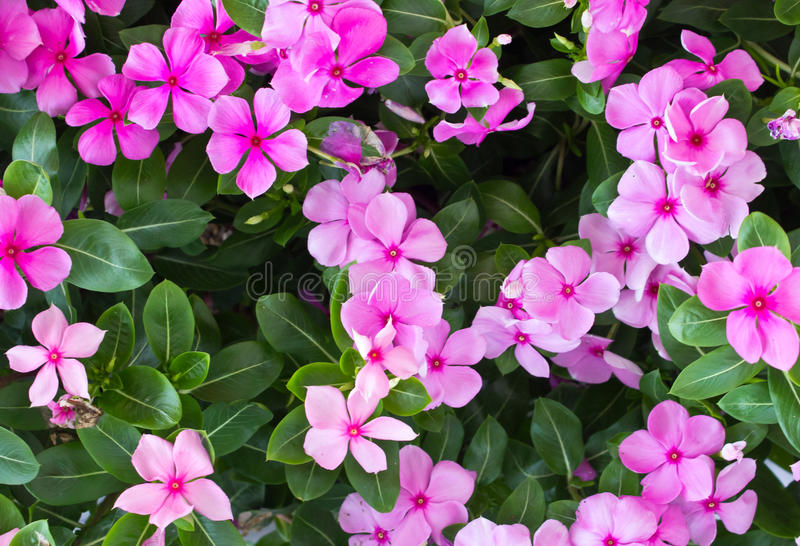 Pink vinca flower blooming. It a beautiful stock photography