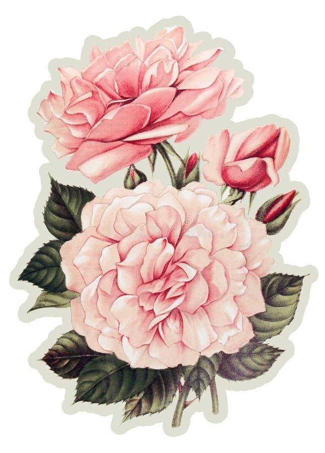 Pink Vintage Rose Flower on white background stock illustration