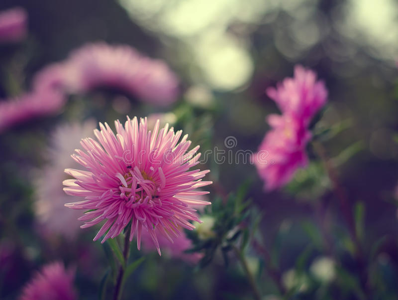 Pink and violet aster autumn flowers stock photos