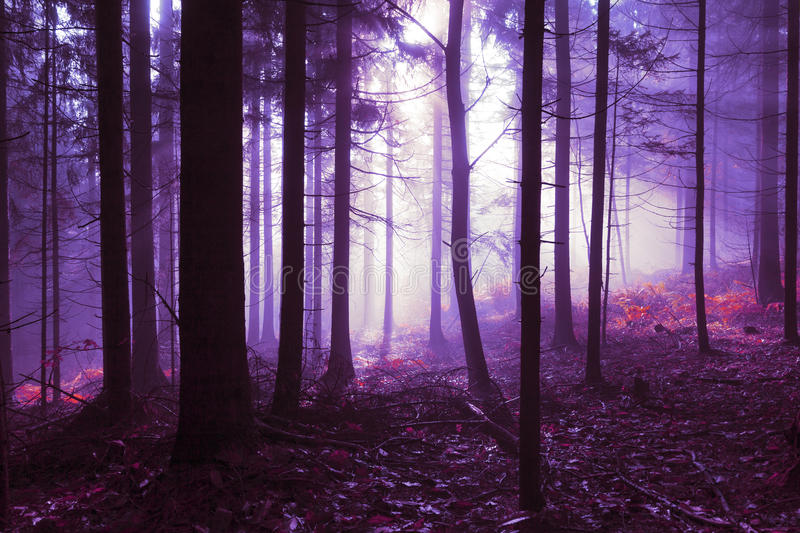 Pink violet foggy forest landscape stock photography