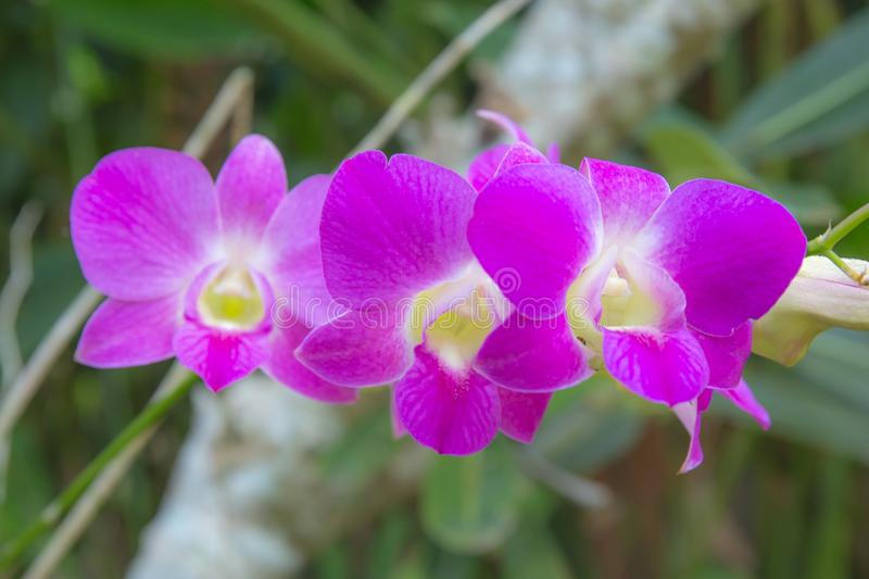 Pink violet or purple orchid flower. Three of pink violet or purple orchid flower royalty free stock photo