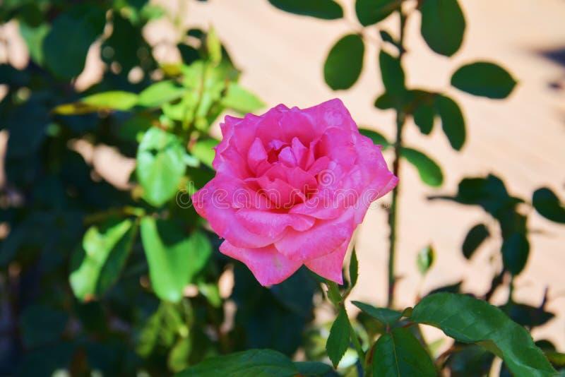 Pink violet rose on blurred background stock image