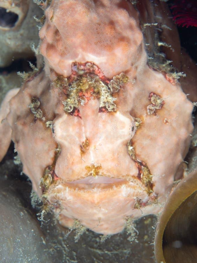 Warty frogfish, Antennarius maculatus. Lembeh, North Sulawesi royalty free stock photography