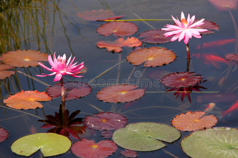 Pink water lilies stock photography