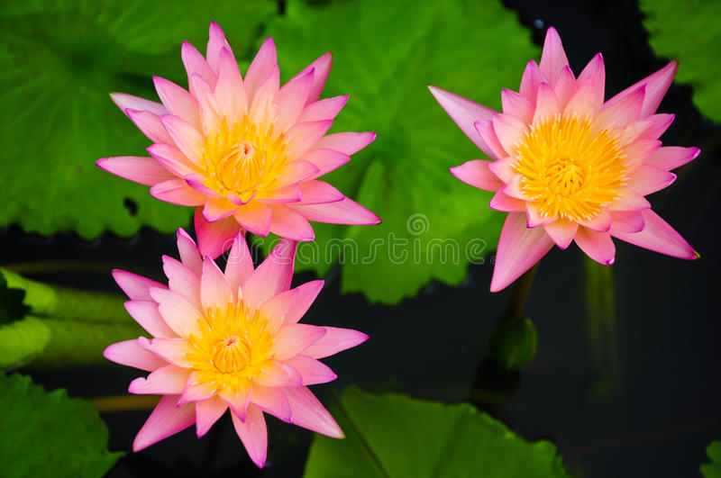 Pink water lilies. At Phatumthani Province, Thailand royalty free stock photos