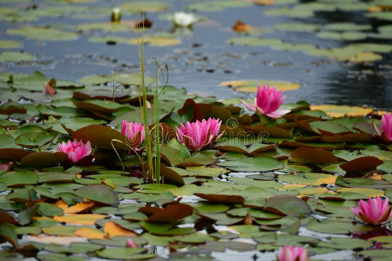 Pink water lilies on a lake in Scotland royalty free stock image