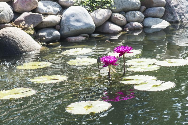 Pink water lilies. Lily pads rocks water drops blooming reflection pond royalty free stock photo