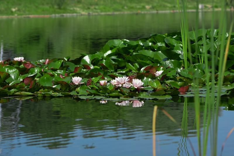 Water lilies in a lake. Pink water lilies in a middle of a lake royalty free stock photo