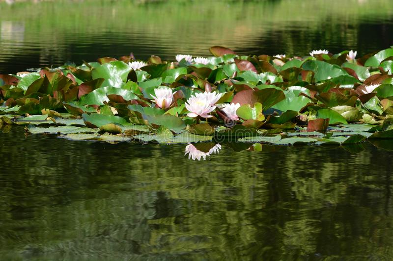 Pink water lilies. In a lake royalty free stock photos