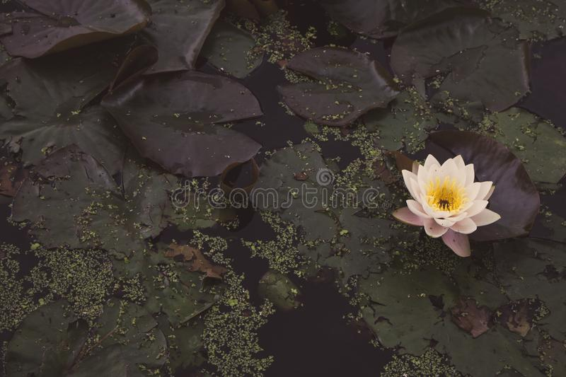 Pink water lilies in summer pond faded. Blooming lotus with big leaves filtered. Summer nature concept. Swamp land nature. Beautiful waterlily in river stock photo