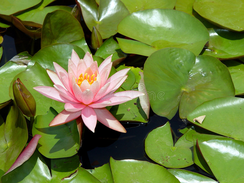 Download Pink Water Lily stock photo. Image of lily, green, nature - 5654